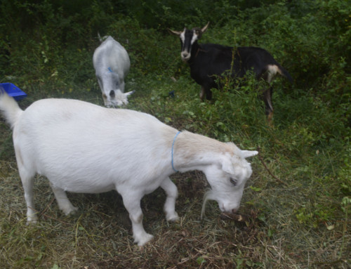 Goats to take residence at the Fanwood Nature Center